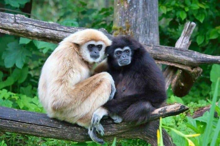 Gibbons phuket Thailand
