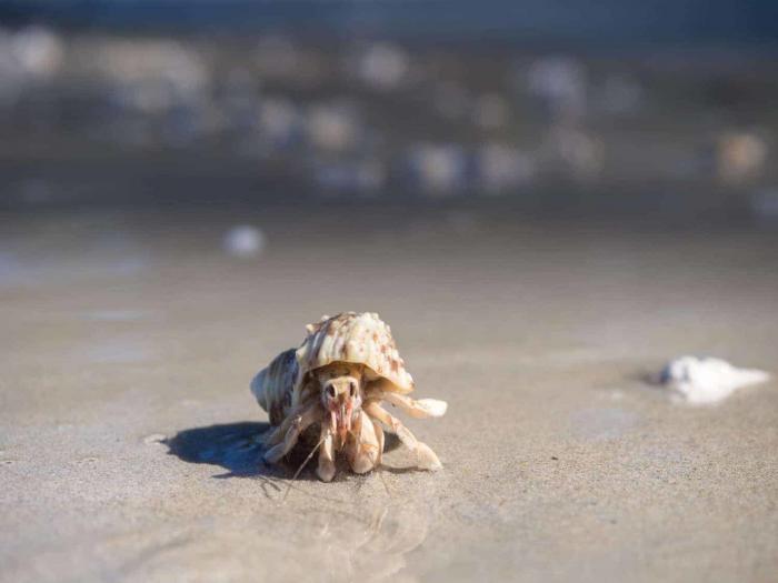 Hermit crab i Sirinat National Park Phuket Thailand