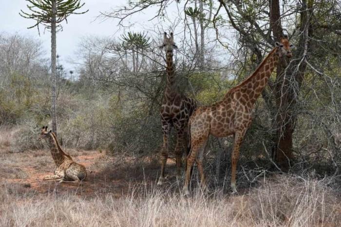 Kissama, National Park. berømt for sine mange vilde dyr og ingen mangel på giraffer