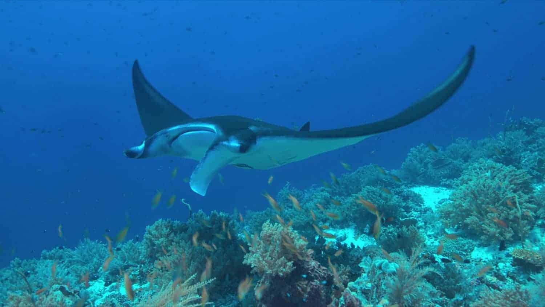 Palawan: Manta ray ved Koral reef El Nido