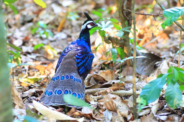 Palawan Fillipinerne Peacock-Pheasant