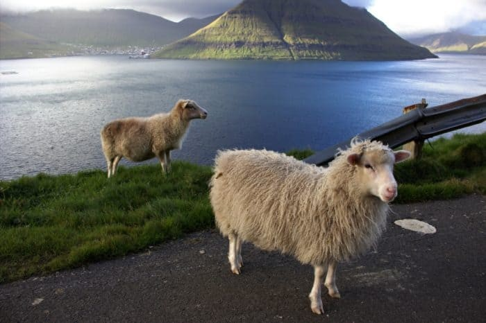 Faroe islands, sheep making a road control