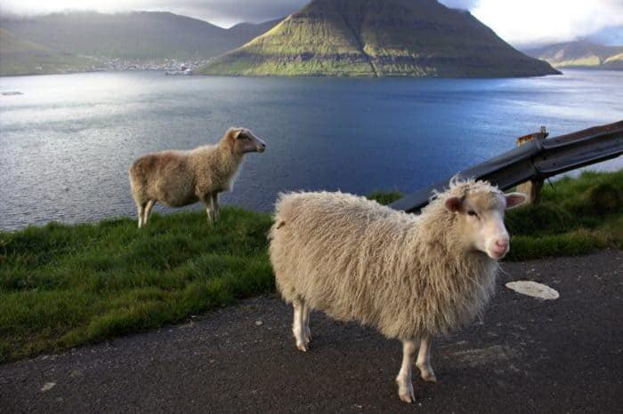 Faroe islands, sheep making a road control