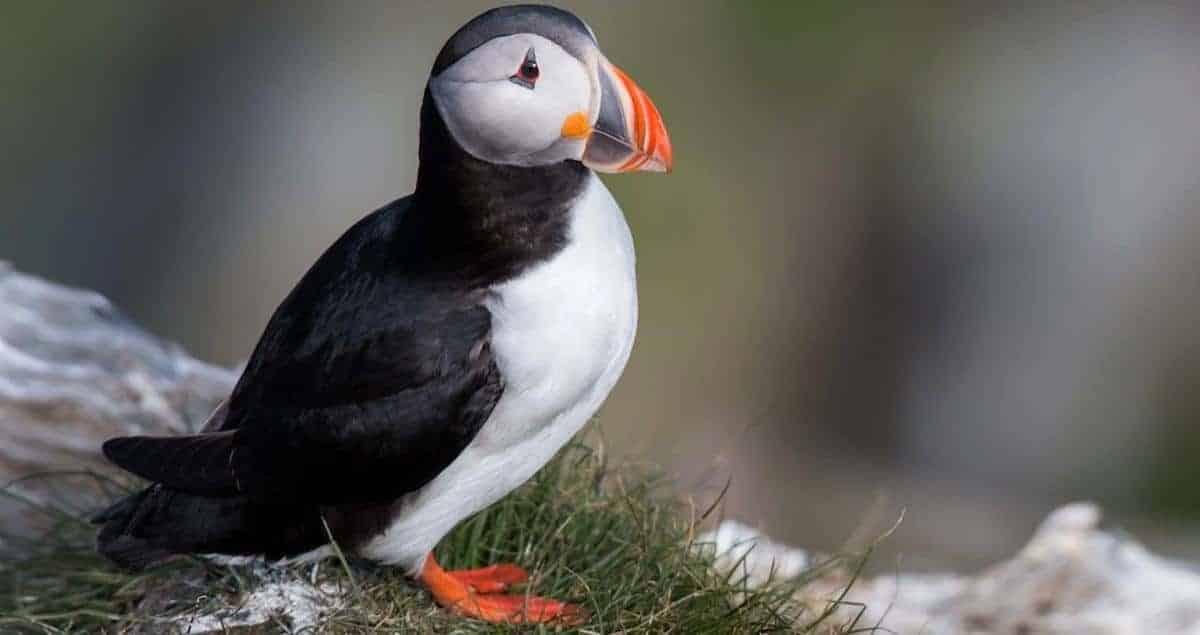 puffin bird in The Faroe Islands