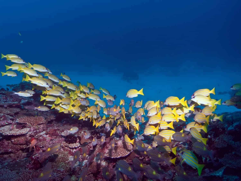 Dykkerferie på Maldiverne, koralfisk