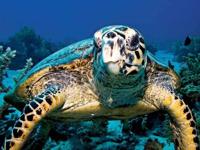 hawksbill turtle Bali