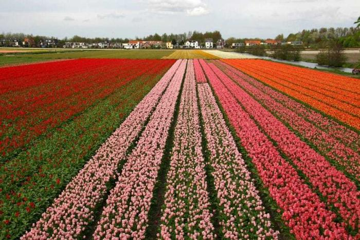 Holland_tulipaner
