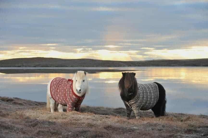 Scotland ponies