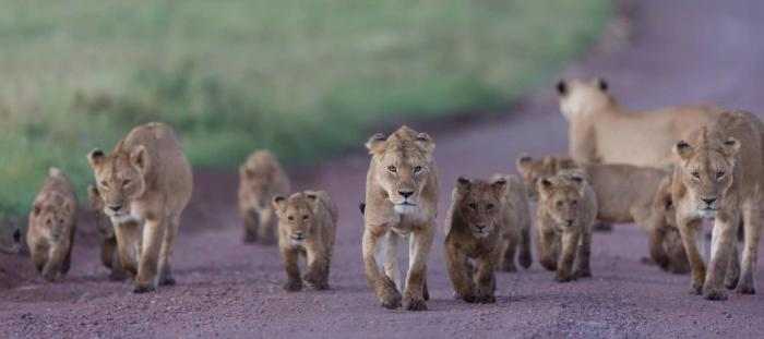 African Lions in the Ngorongoro Crater in Tanzania