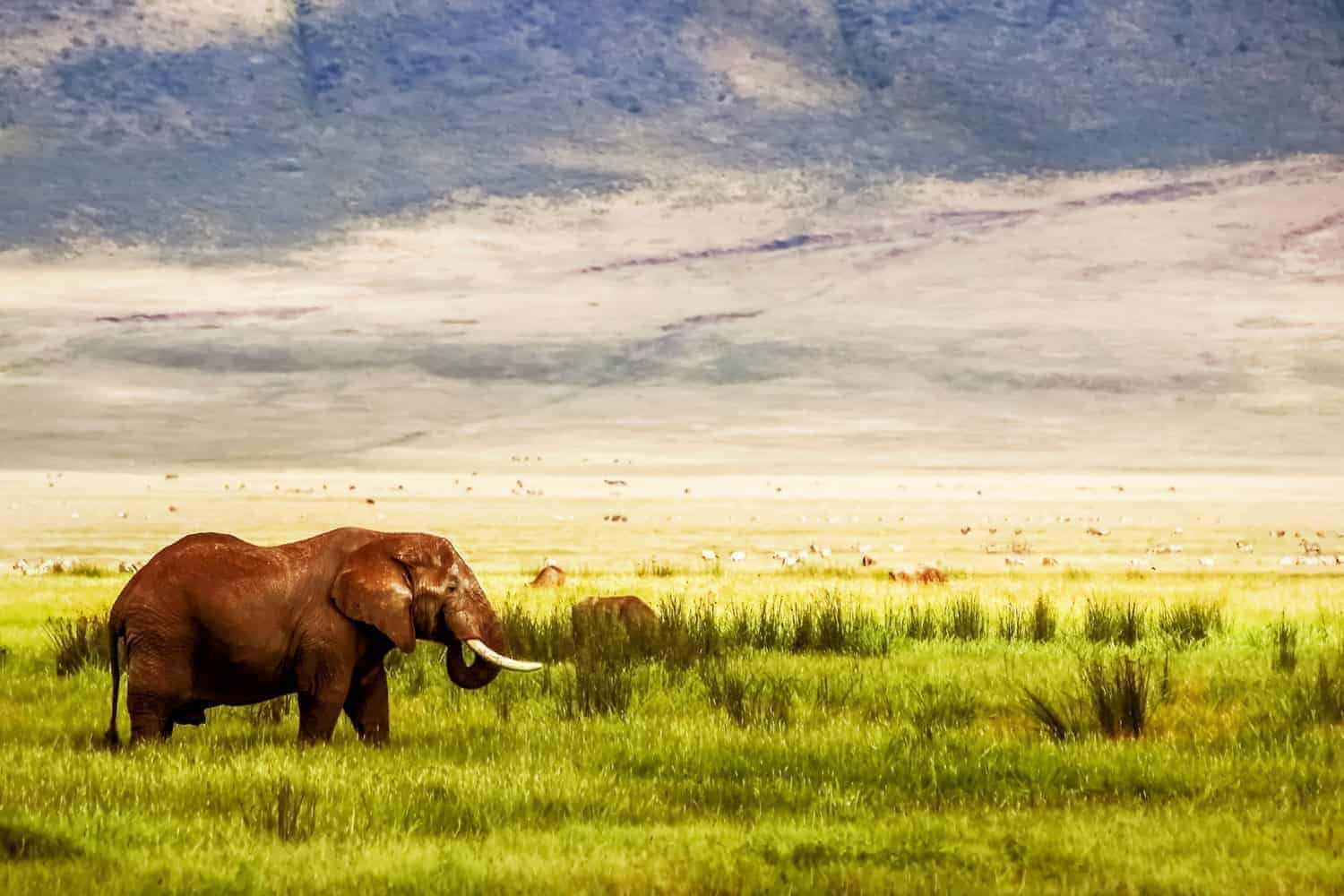Lonely African elephant in the Ngorongoro Crater in the background of mountains and green grass. Ngorongoro Conservation Area.