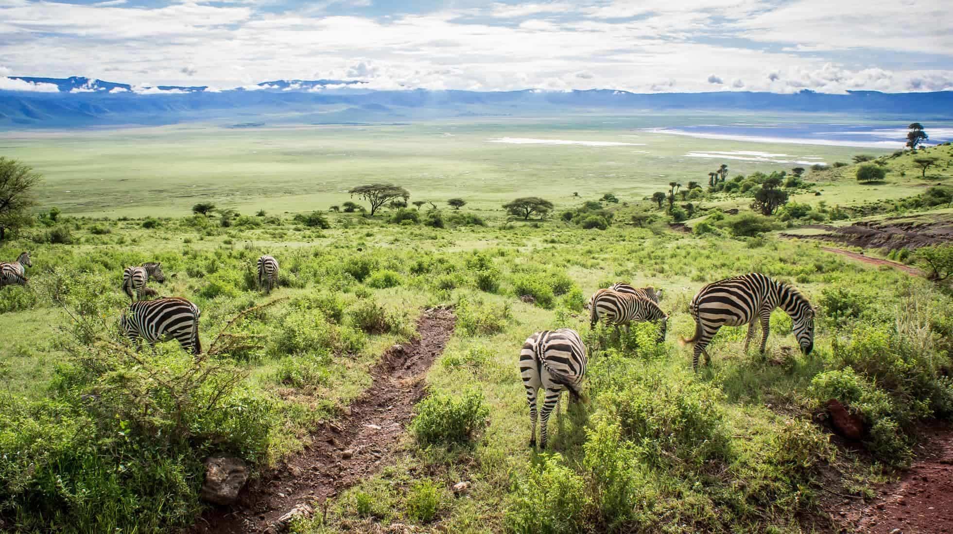 Travel to Africa. This shot of zebras grazing was taken at the Ngorongoro Crater, Tanzania, Africa.