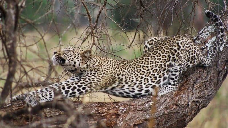 Zanzibar-Leopard
