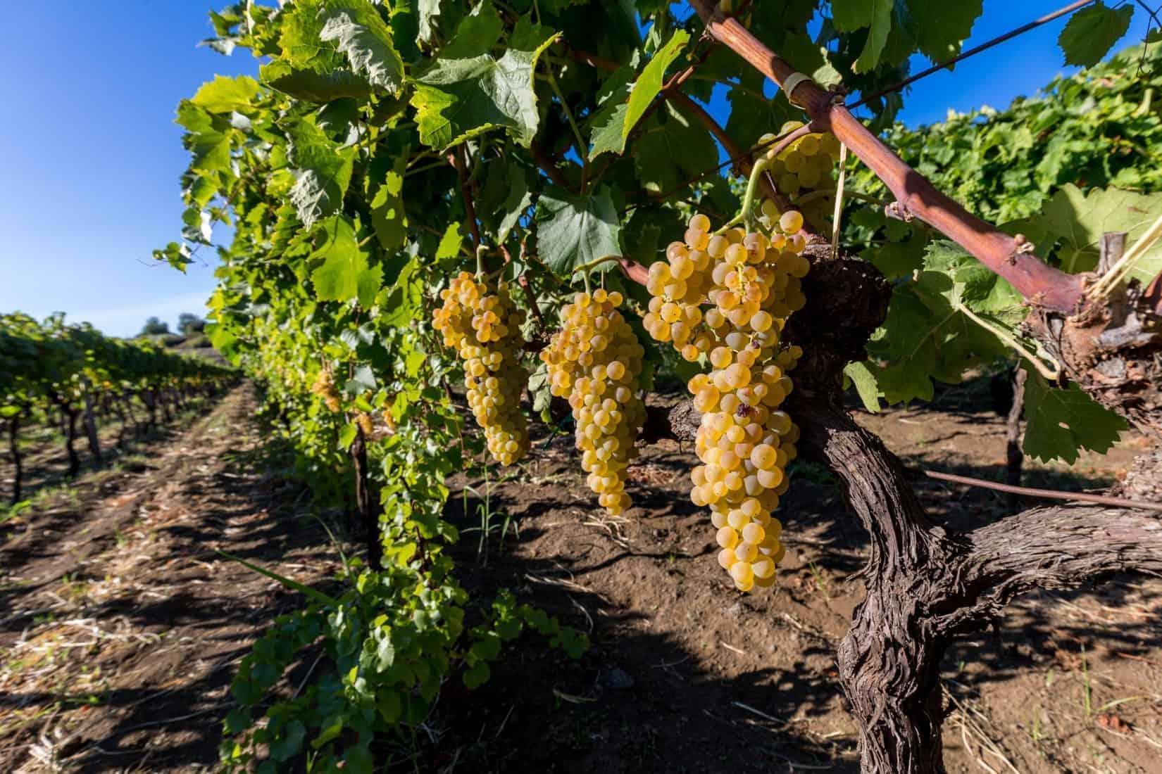 Sicilian grape on the slopes of Etna Volcano ready for harvest
