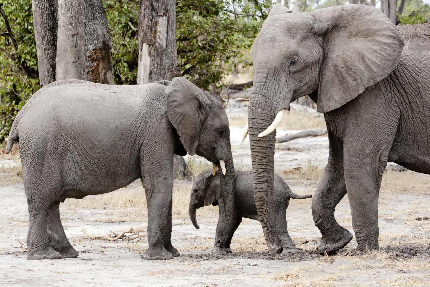 Baby elephant between mother and brother, Okavango Delta, Botswana, Africa