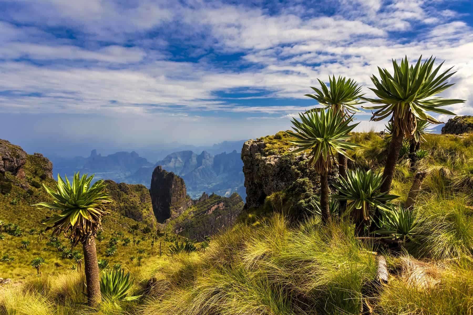 Ethiopia. Simien Mountains National Park. Imet Gogo peak and Giant Lobelia in the foreground