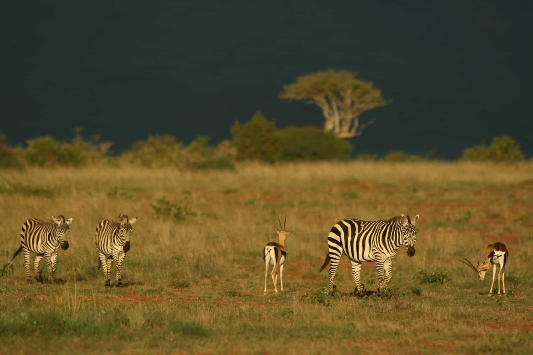 African safari. Plains zebra (Equus quagga) and Grant's gazelle (Nanger granti), Mpala Research Center, Laikipia, Kenya