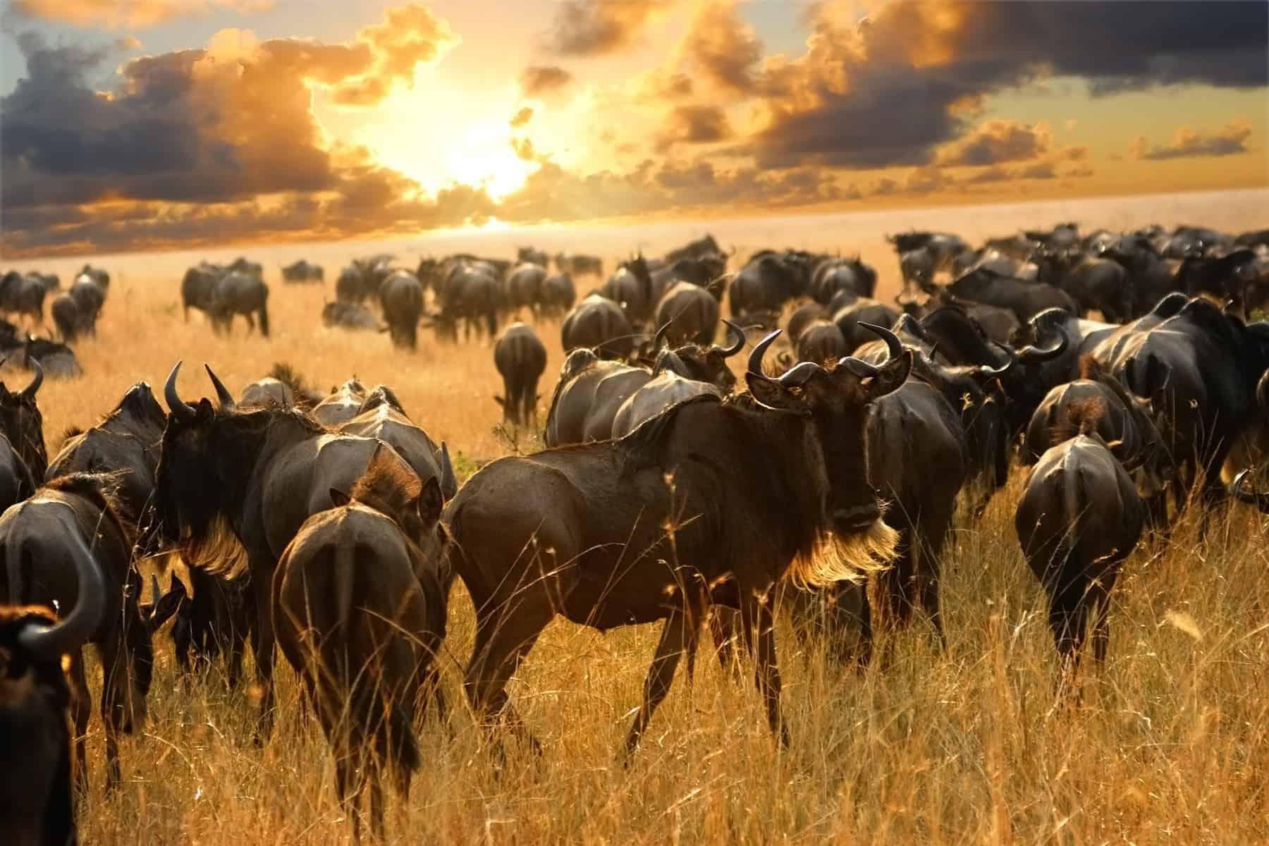 Great migration of antelopes wildebeest in the savannah, Masai Mara, Kenya
