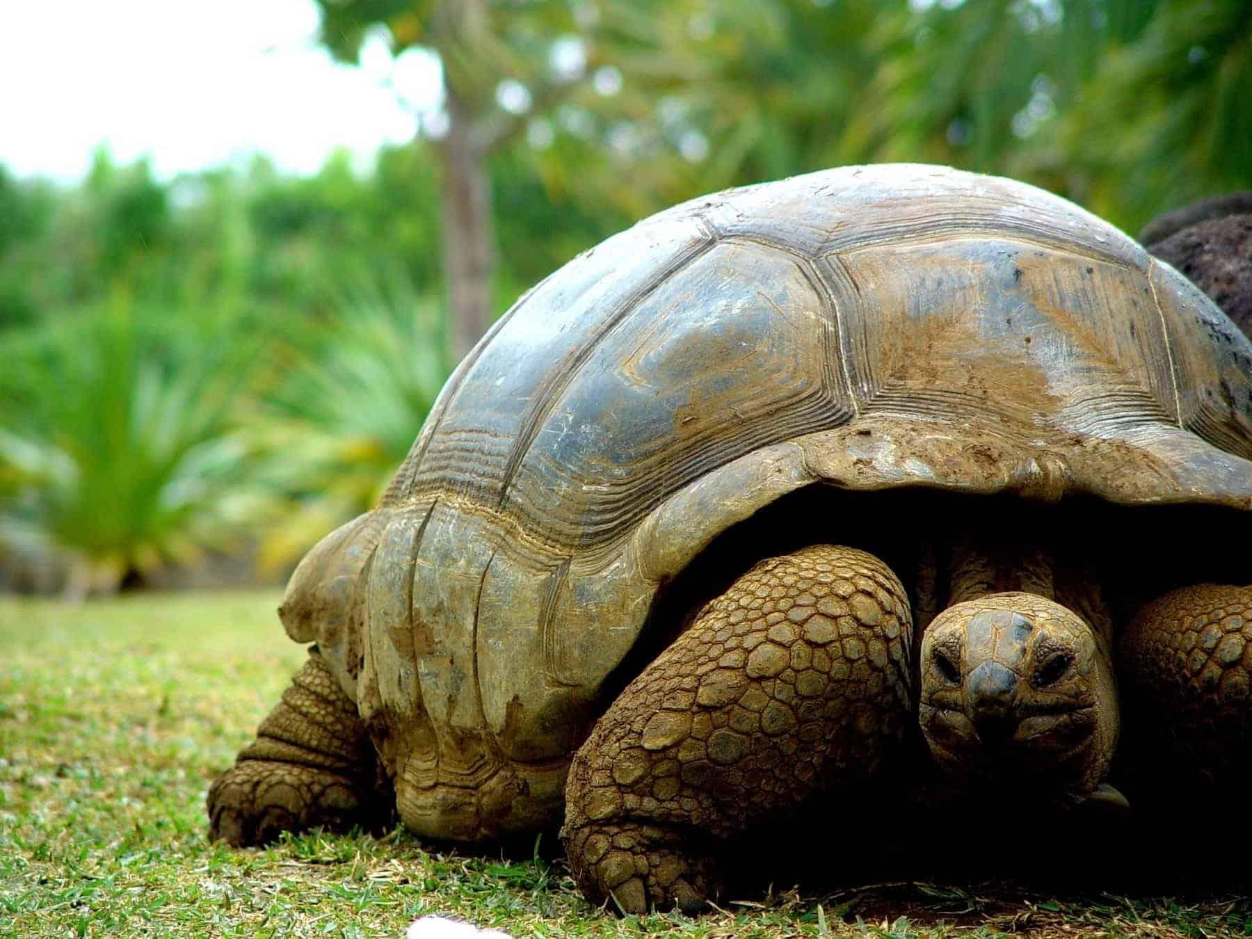 Mauritius turtles