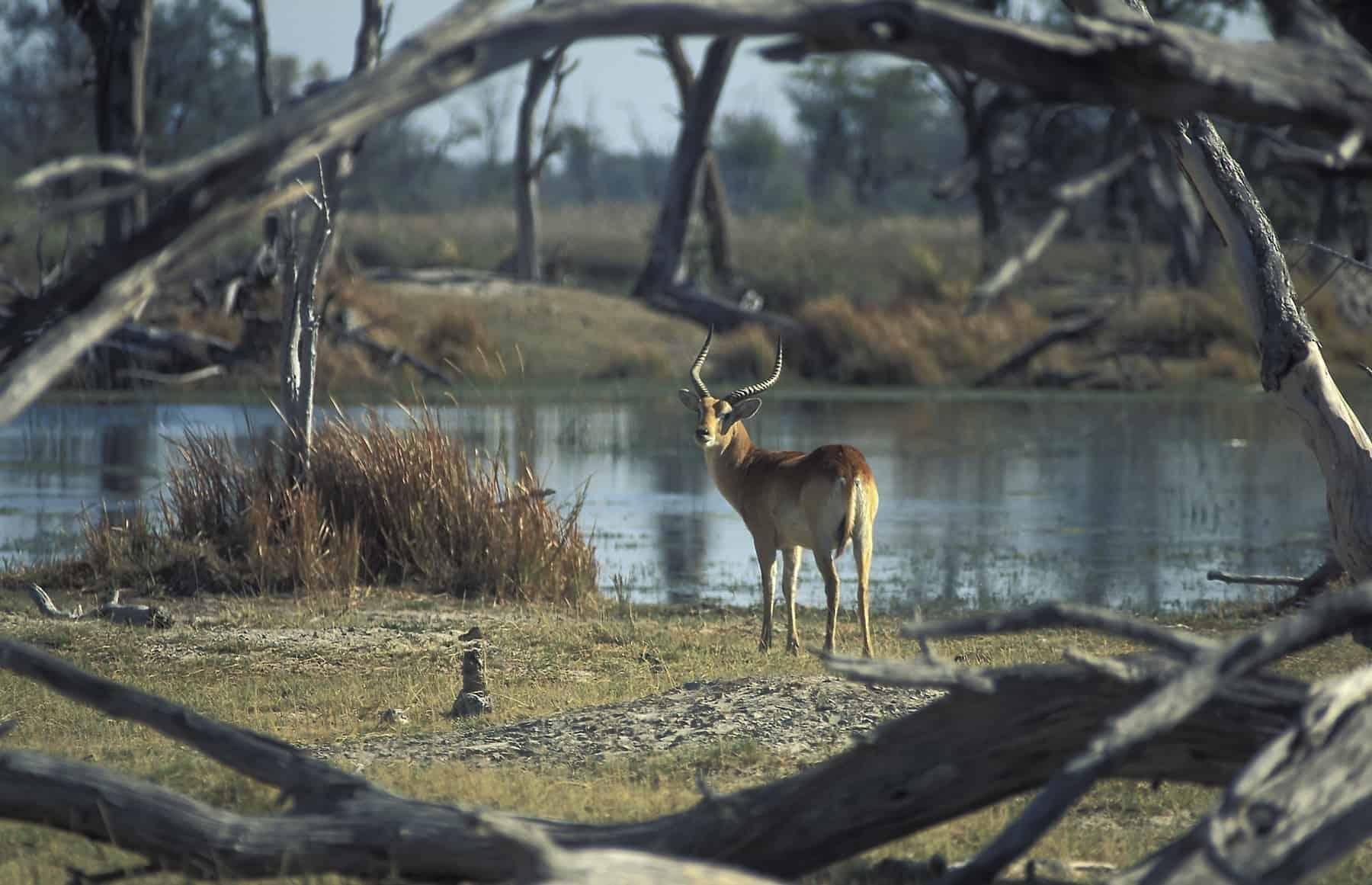 Male of red lechwe (Kobus leche). Moremi Game Reserve, Okavango Delta, Botswana.