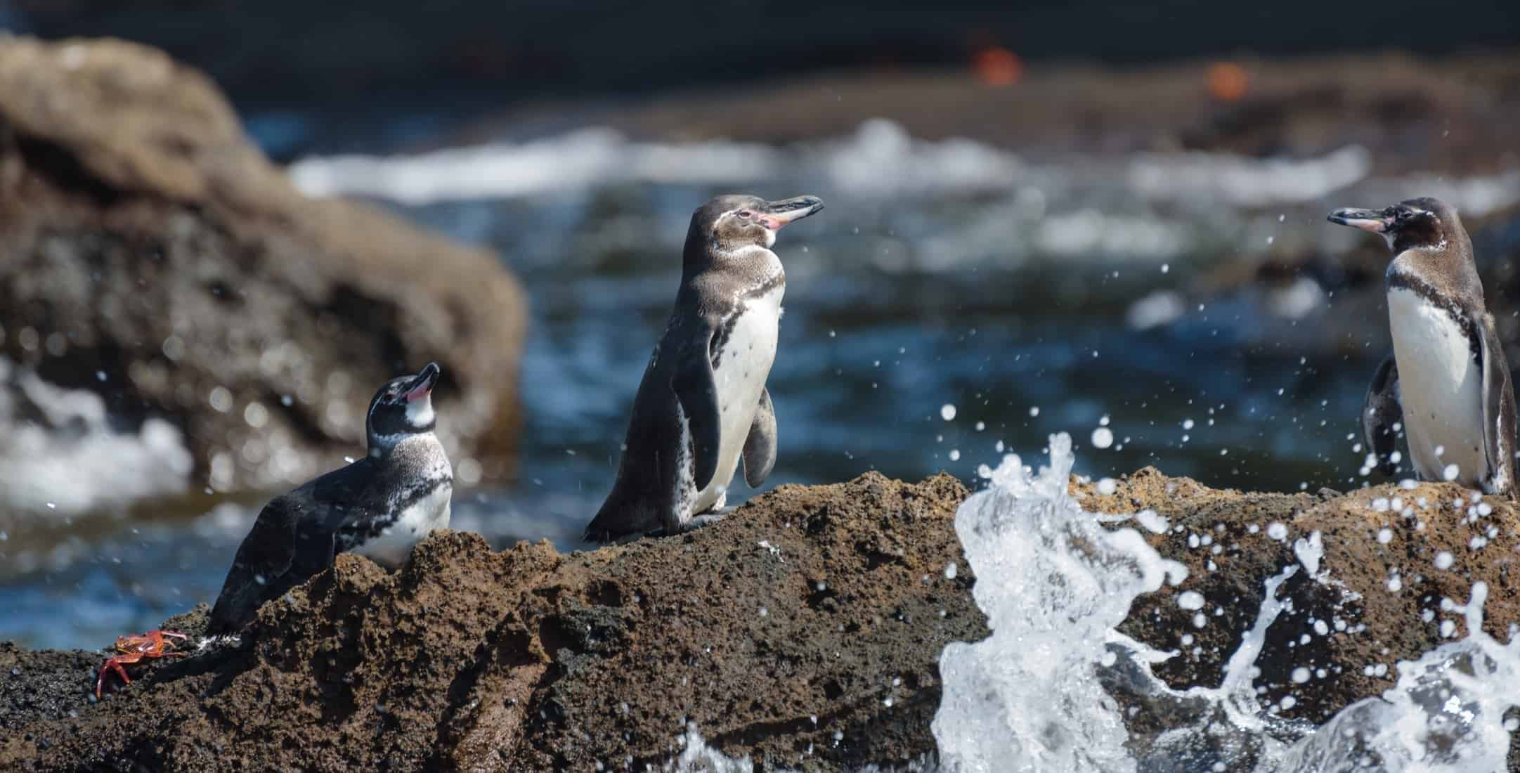 Group of Galapagos penguins on a rock in Santiago Island, Galapagos Island, Ecuador, South America.