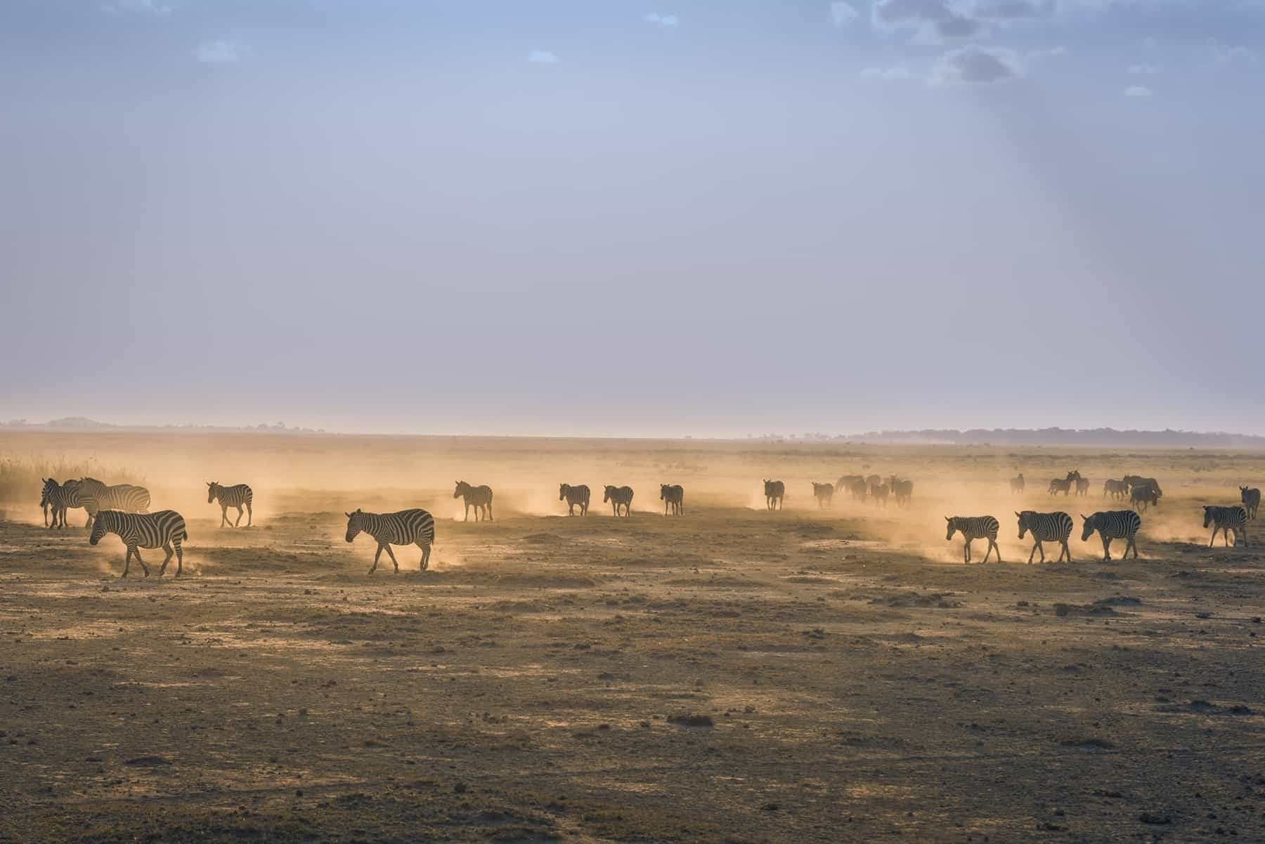 Amboseli National Park, Kenya zebras