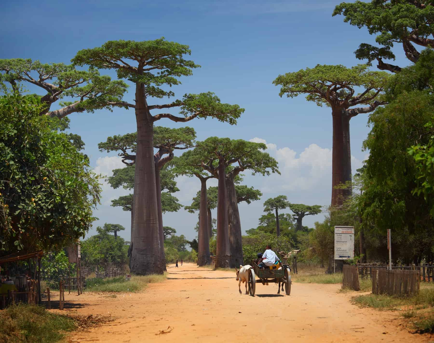 Baobabs and rural road in Africa at sunny day. Madagascar