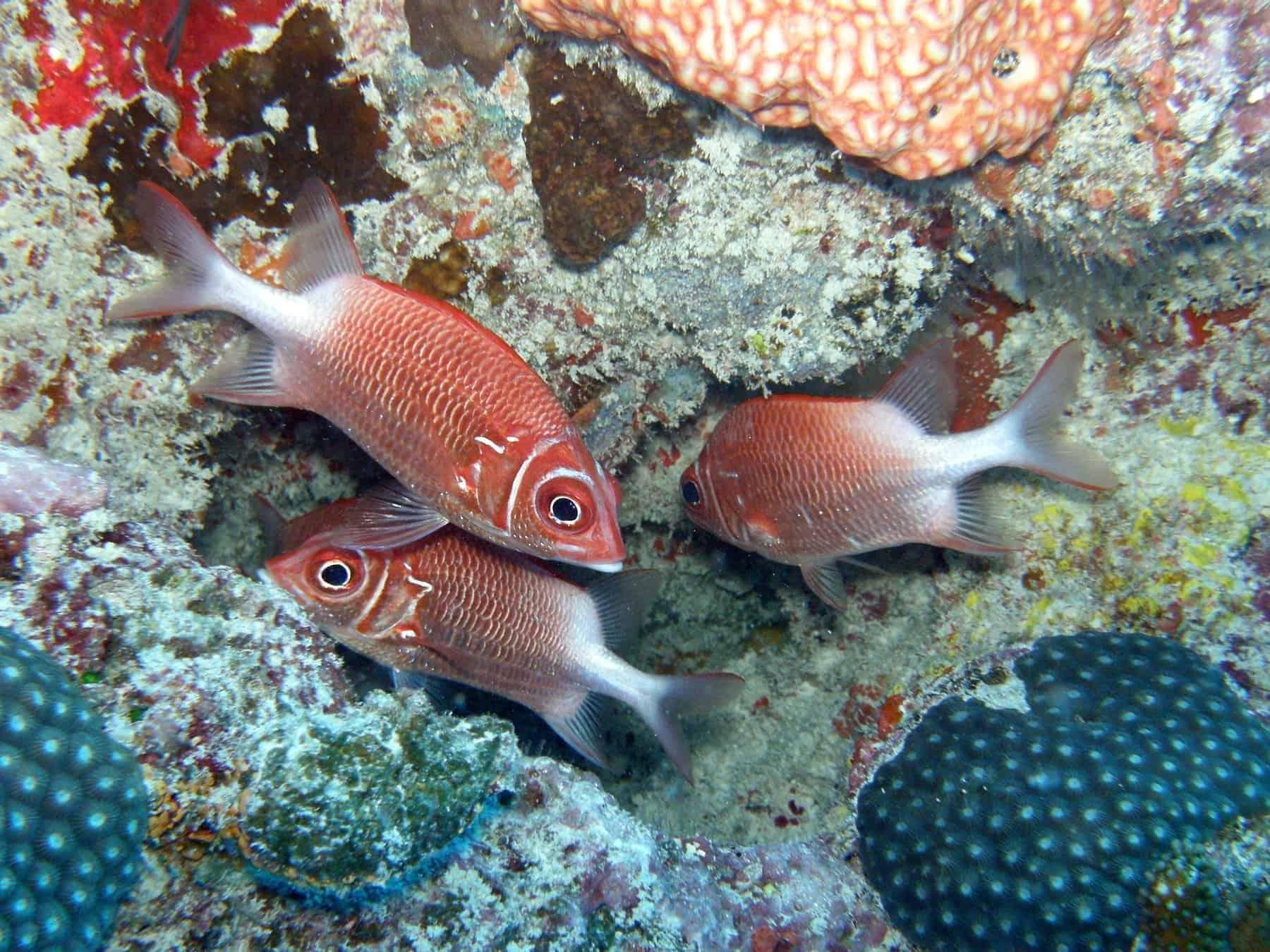 Seychelles, Soldier fish