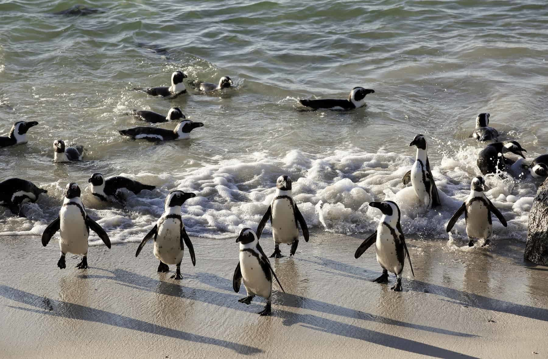 African penguins swimming on sand at Boulders Beach, Cape Town, South Africa