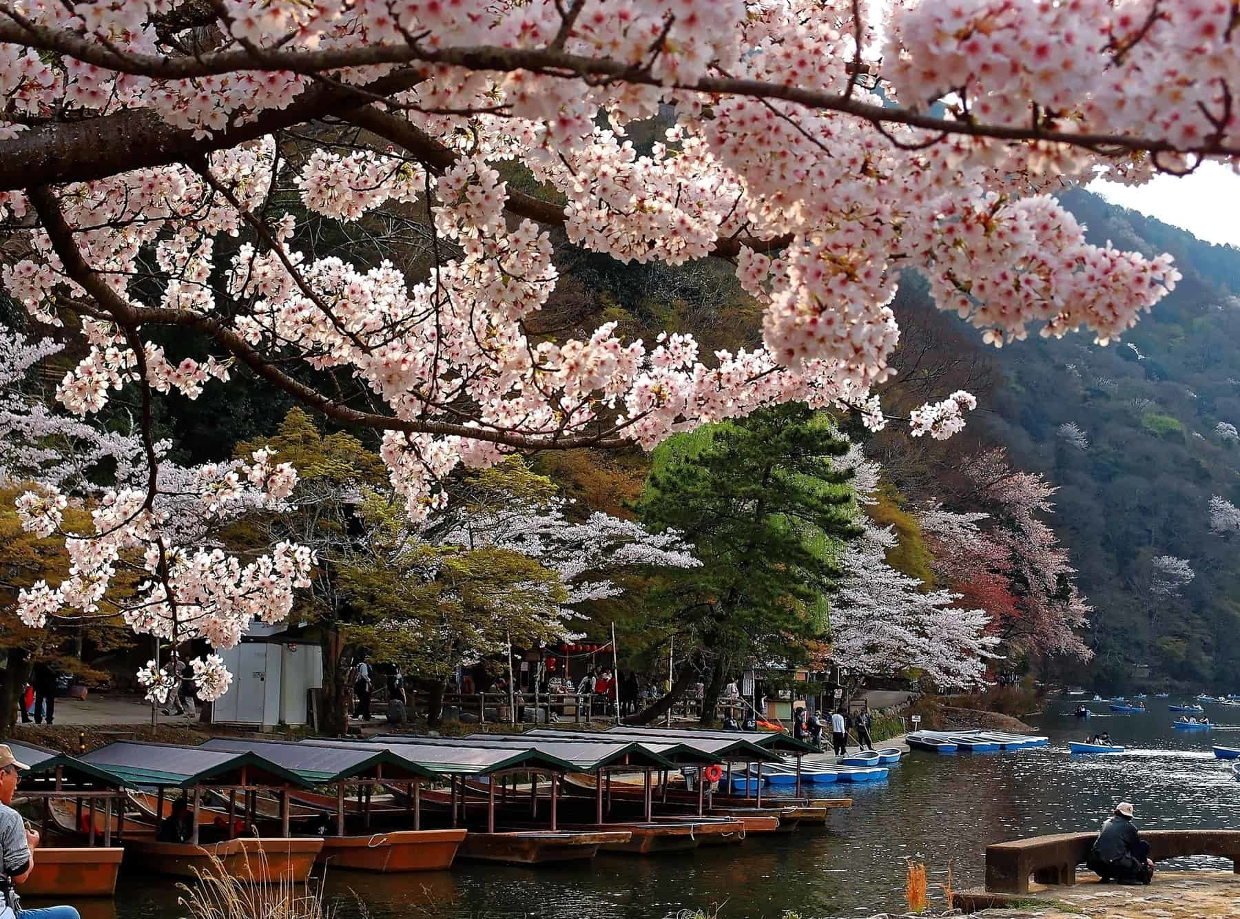 Close-up view of Sakura flowers cherry blossoms by Katsura River with traditional roofed boats Yakatabune parking by the riverside in Arashiyama, Kyoto, Japan~ Beautiful Japanese scenery in spring