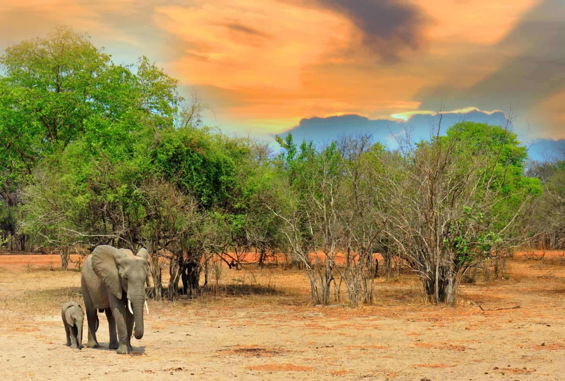 Mother and Baby Calf Elephants standing on the plains with a nice orange and blue sky in South Luangwa National Park, Zambia, Southern Africa