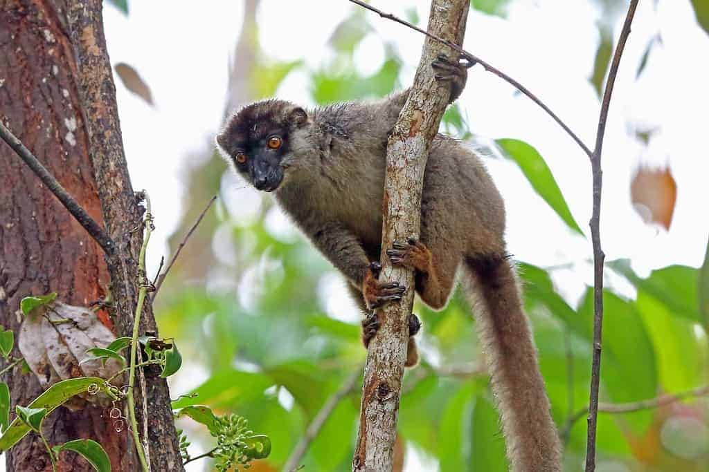 Analamazoatra Madagascar, lemur