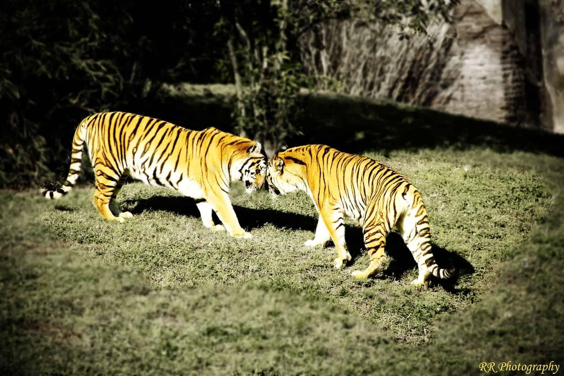 Tigers at Disney Animal world, Orlando Florida