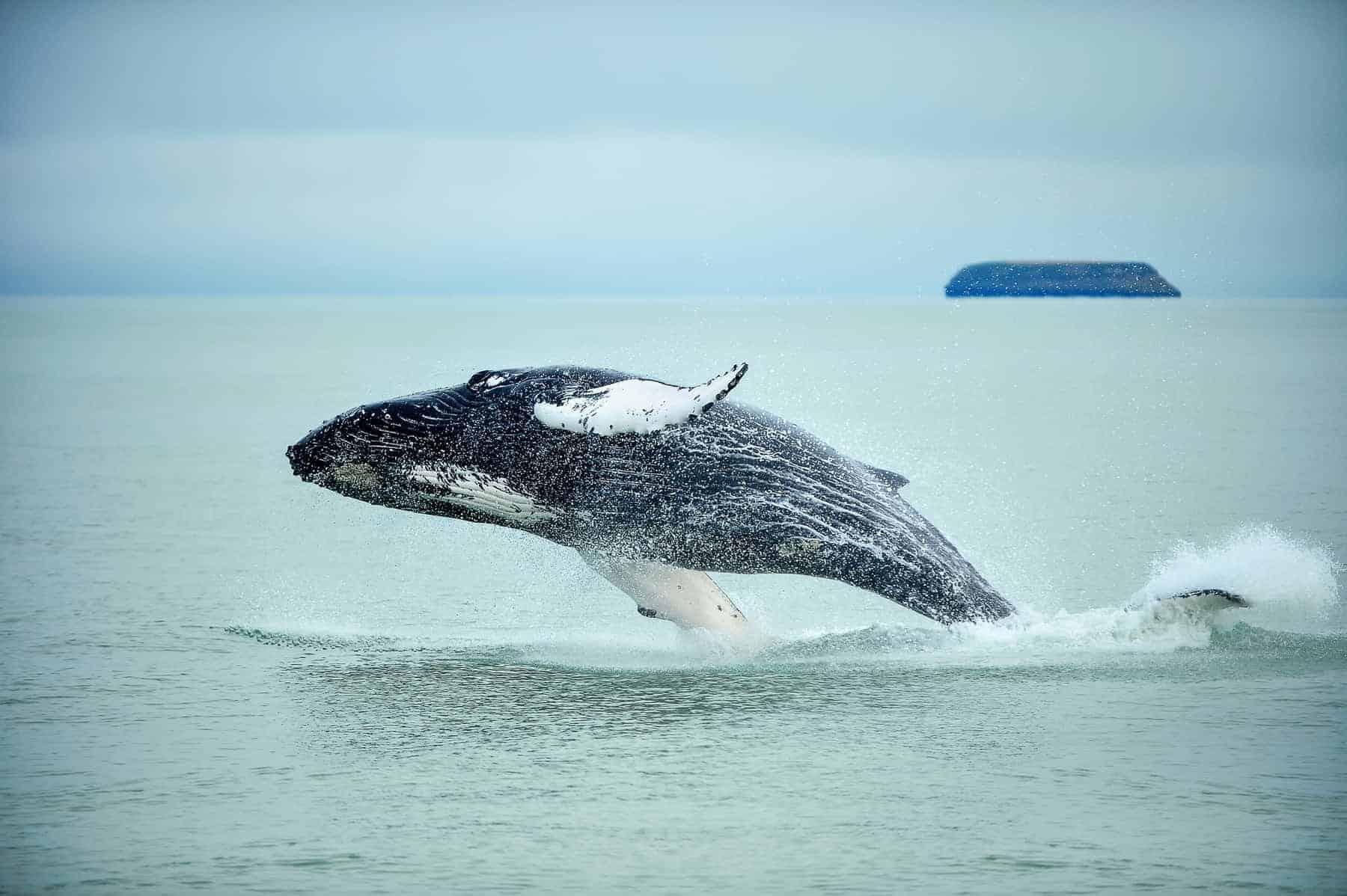 Humpback Whale Megaptera novaeangliae breaching near Husavik City in Iceland