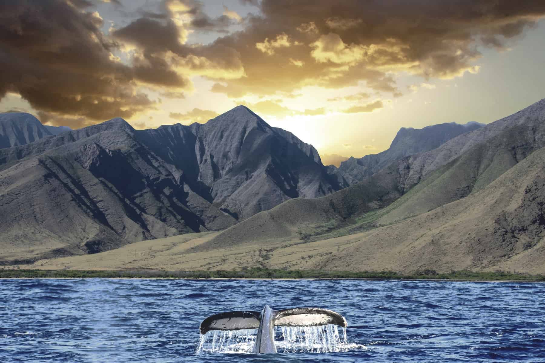 Humpback Whale Tail out of the water with Mountains, Clouds and Sunset in Maui Hawaii