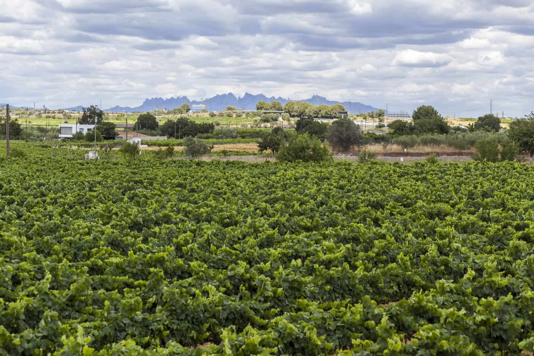 Penedes wine cava region,at background Montserrat mountain. Vilafranca del Penedes, Catalonia,Spain.