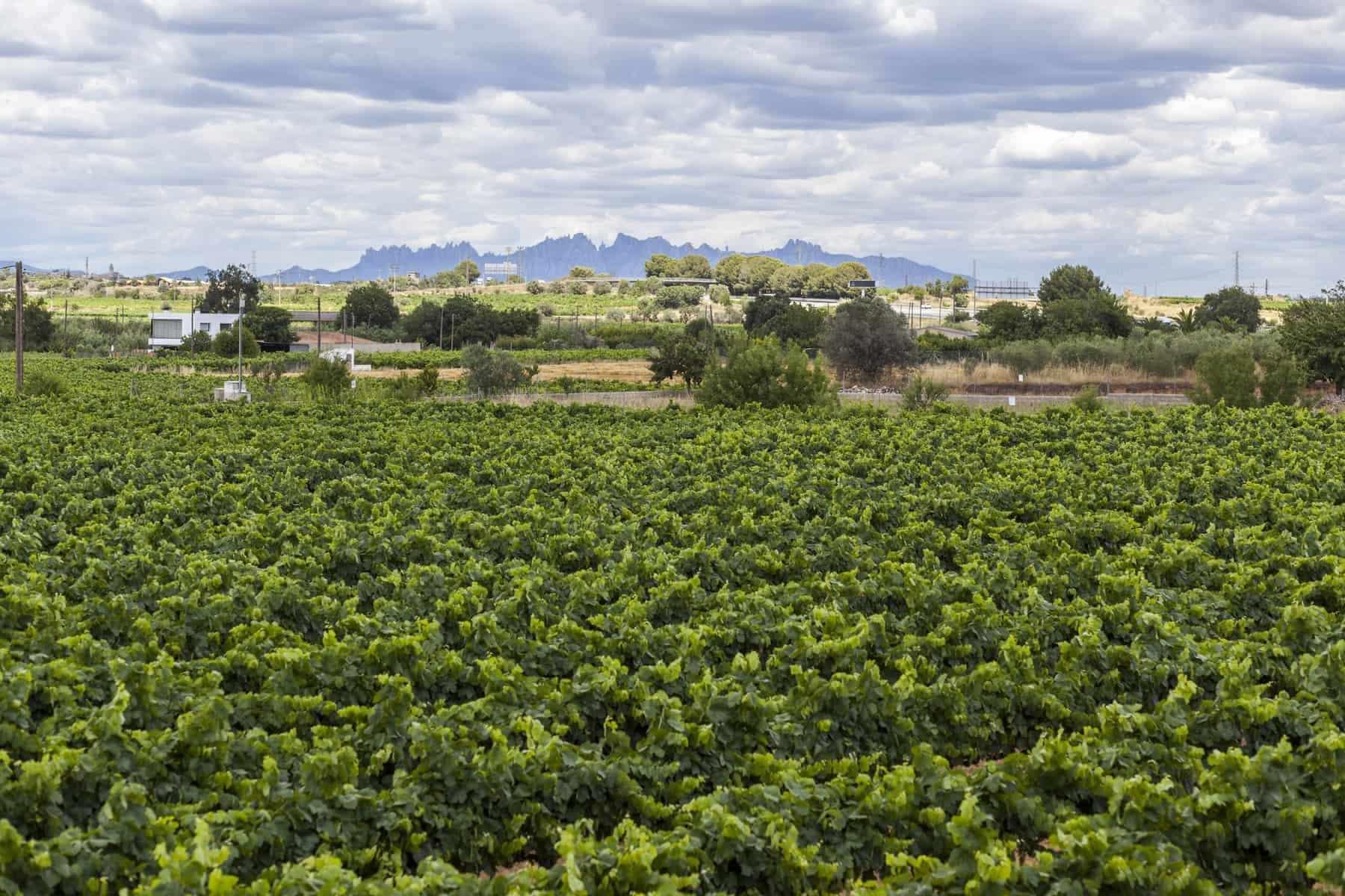Penedes vin cava region, i baggrunden Montserrat bjergene. Vilafranca del Penedes, Catalonien, Spanien.