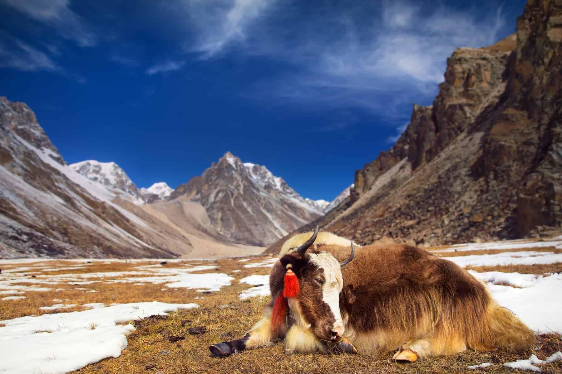 Keep calm like Yak in Himalaya Mountains.