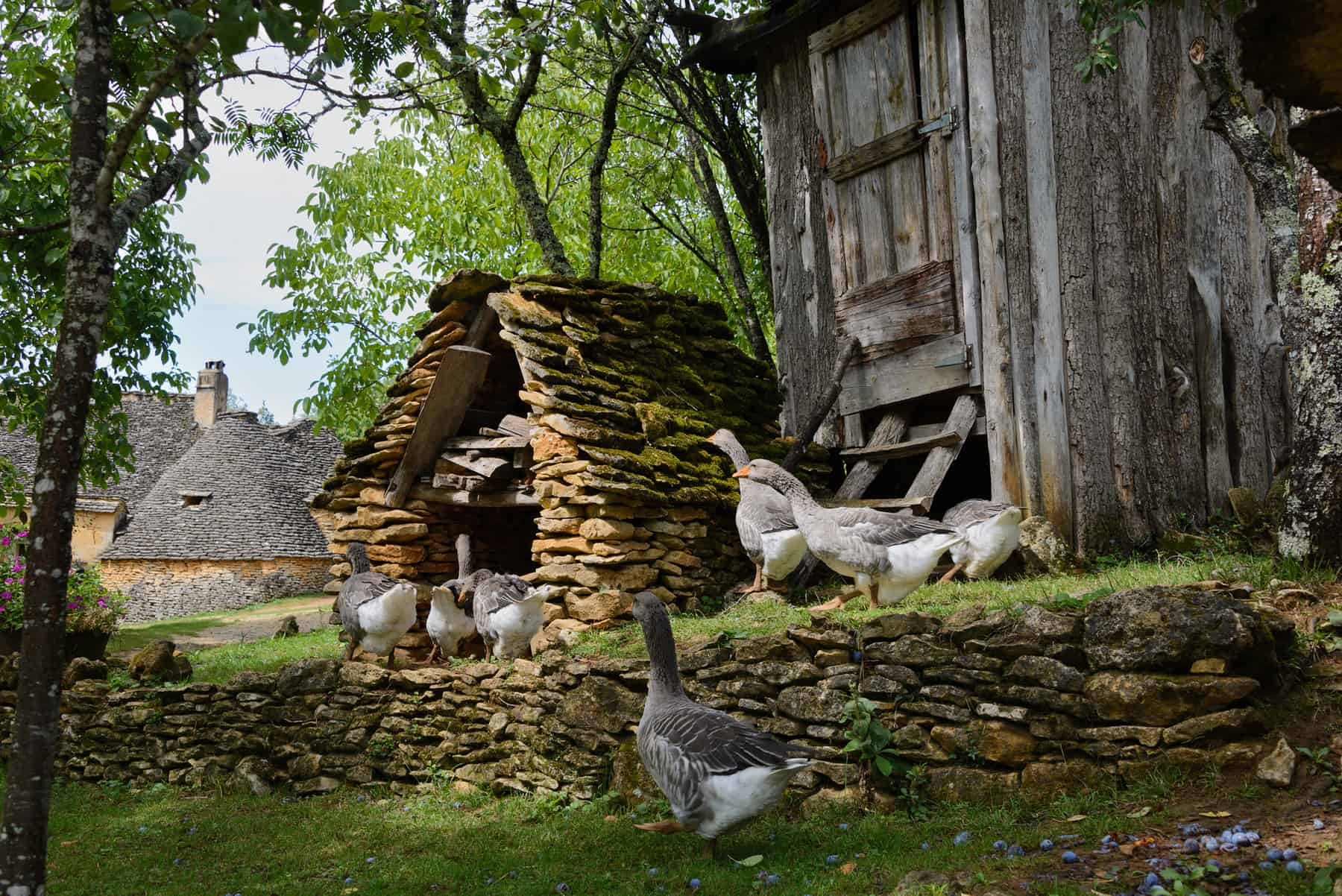 Grey foie gras geese walking to their goose house on a traditional goose farm near Sarlat, Perigord, where they also have truffles.Dordogne region, France.