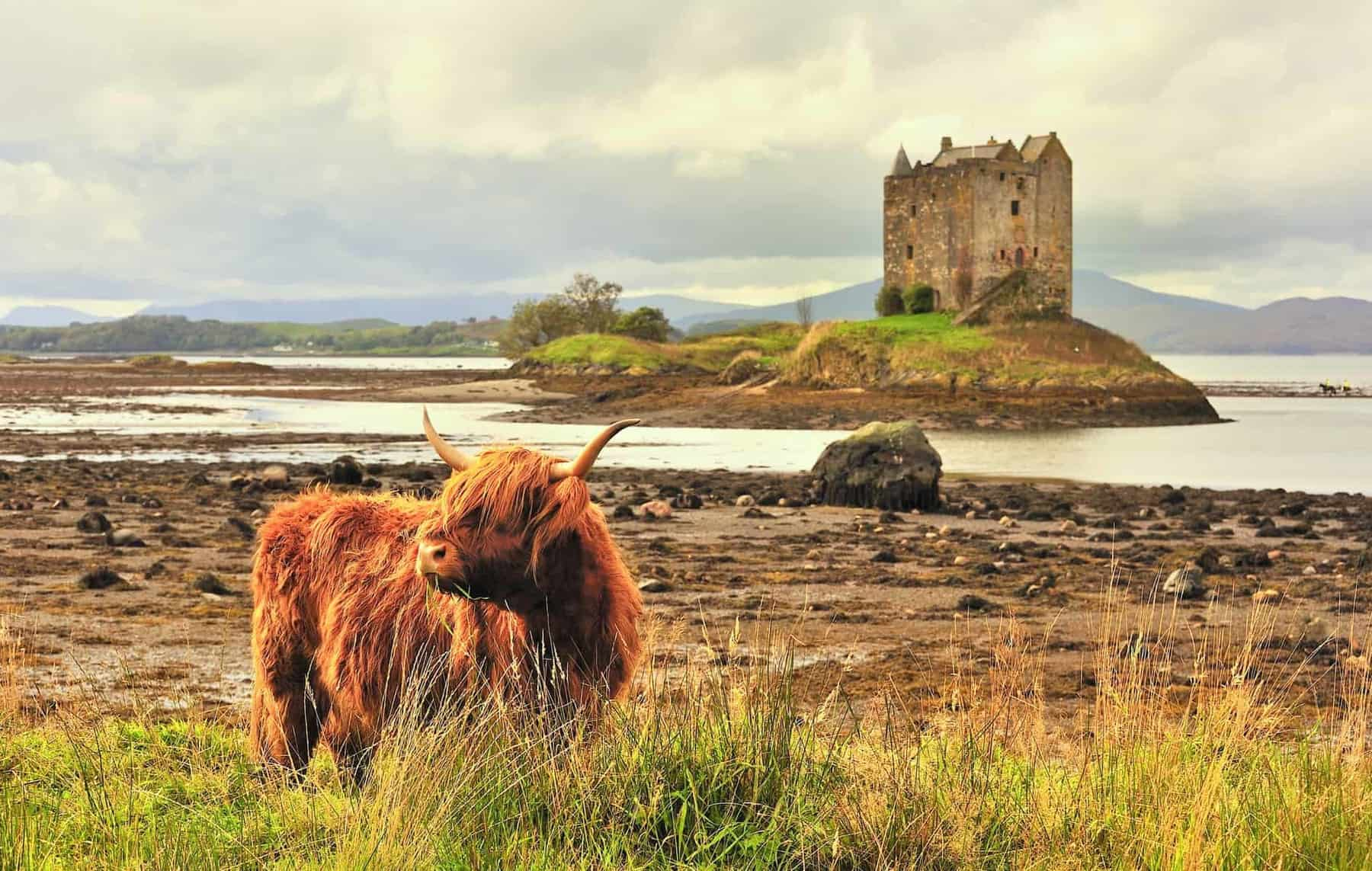 A lone highland cow grazes on grass, with castle Stalker in the background. A classic Scottish image.